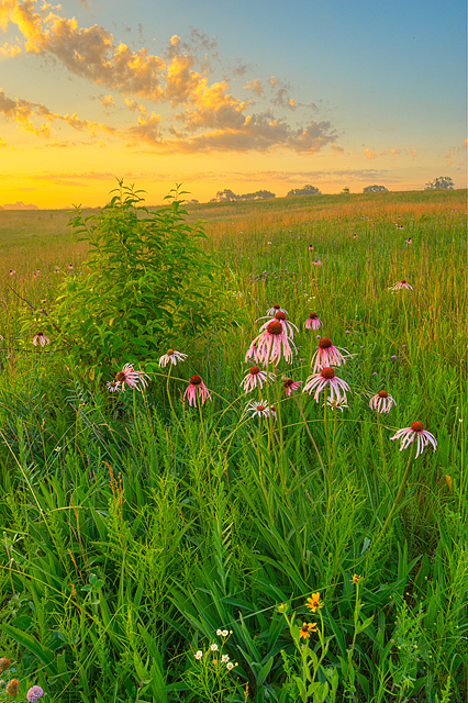 Coneflower Morning, Nachusa Grasslands Preserve, Illinois