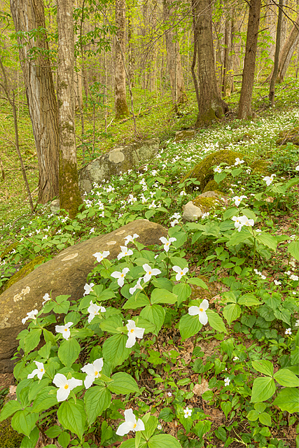 White Trillium, Cove Hardwood Nature Trail, Great Smoky Mountains National Park, Tennessee