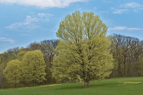 Early Budding Trees, Morton Arboretum, DuPage County, Illinois