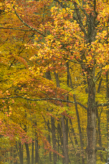 Fall Trees, McCormick's Creek State Park, Indiana