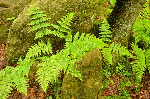 Ferns and Rocks, Old Man's Cave Area, Hocking Hills State Park, Ohio