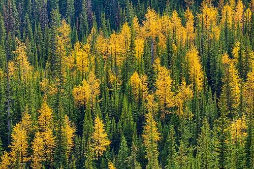 Larches on Saddleback Mountain, Saddleback Trail, Banff National Park, Alberta